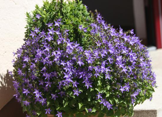 Die Campula mit ihren zarten blauen Blütenkelchen passt sehr gut ins Rosenbeet