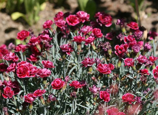 Der nostalgisch anmutende Nelkenbusch im Rosenbeet