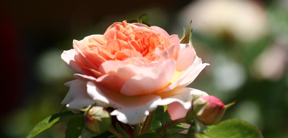 Duftende Rosen in Hildegards Garten