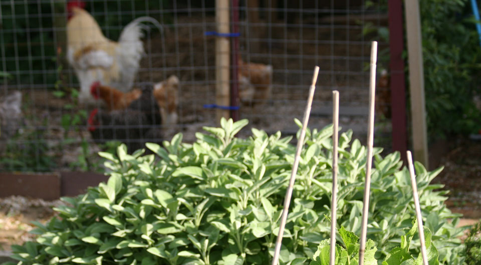 Salbei – Küchenkraut und Heilpflanze.