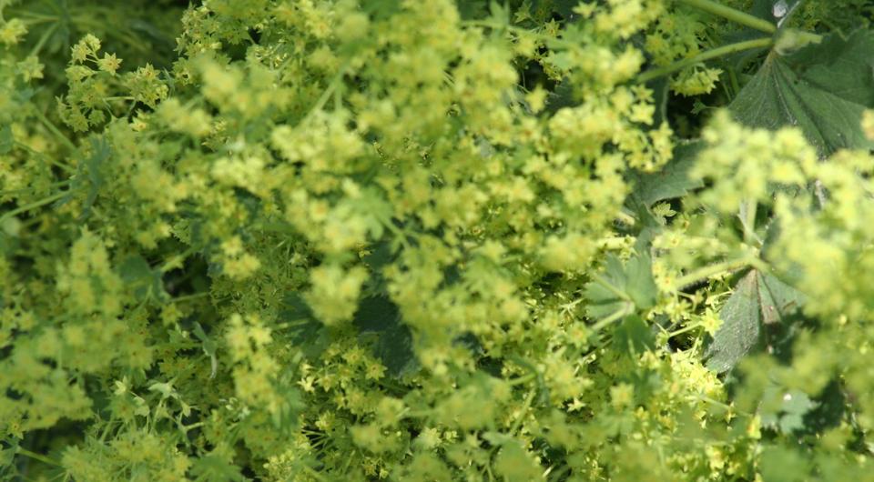 Frauenmantel, eine schöne Blattschmuckstaude.