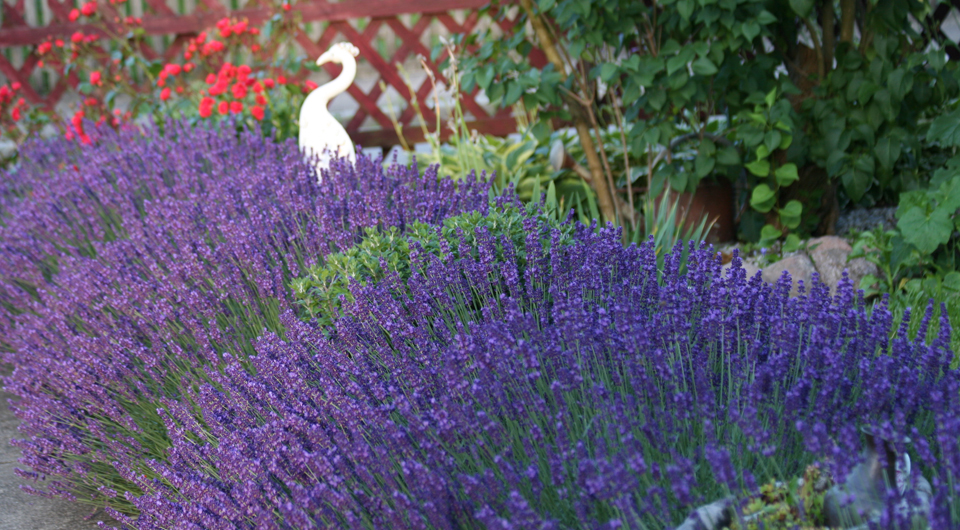 Lavendel, der betörende Duft aus dem Mittelmehrraum.