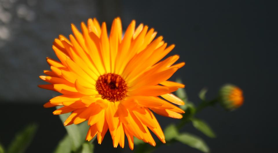 Ringelblume, schöne Zier- und Heilpflanze.